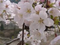 [Cherry Blossoms3]Picture material download