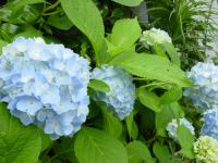 [hydrangea]Picture material download