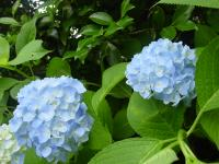 [hydrangea 001]Picture material download