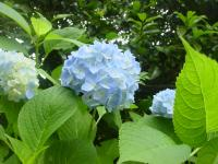 [hydrangea 003]Picture material download